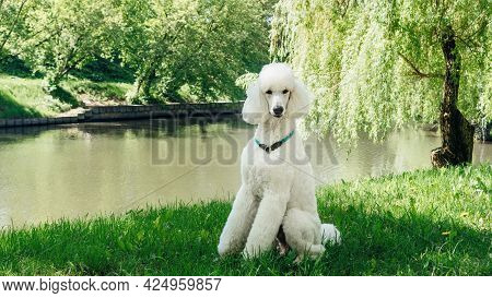 A Purebred Standard White Poodle Dog Sits On A Green Lawn And Waits For The Training Command. Impecc