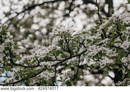 Blooming Apple Tree. White Apple Blossoms On A Branch Close-up. Nature Floral Background. Live Wall