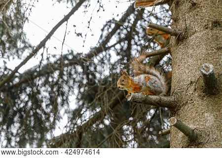 Outdoor Portrait Of Cute Curious Red Gray Squirrel Sitting On Tree Branch In Forest Background. Litt