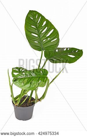 Exotic Houseplant With Botanic Name 'monstera Adansonii' With Large Leaves In Flower Pot Isolated On