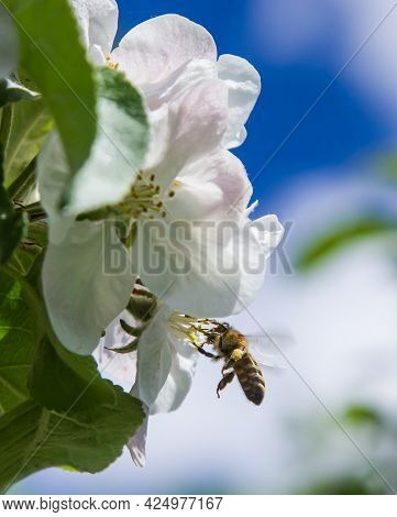 Apple Tree Blooms In The Garden. Bees Collect Nectar And Pollen