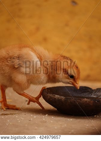 Baby Chick Drinking Water , Portrait Of Chick , Chick With Family , Chicken Lover