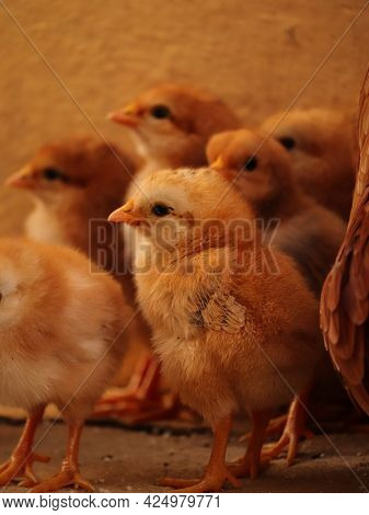 Baby Chicks , Portrait Of Chick , Chick With Family , Chicken Lover