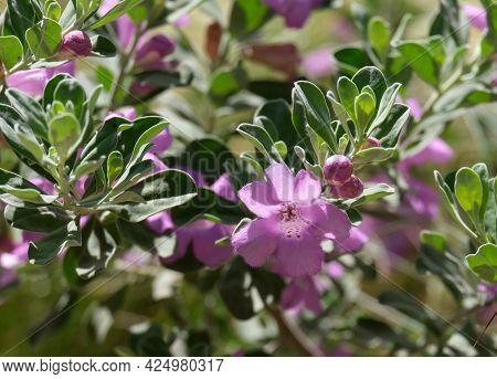 Beautiful Flowering Pink Flowers Evergreen Ornamental Shrub Leucophyllum