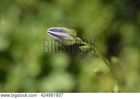 Peach-leaved Bellflower Flower Bud - Latin Name - Campanula Persicifolia