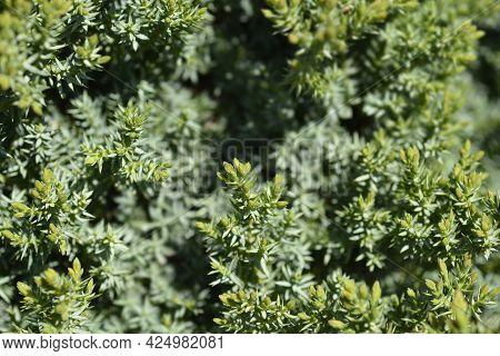 Juniper Green Carpet - Latin Name - Juniperus Communis Green Carpet