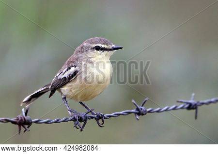 Lesser Wagtail-tyrant (stigmatura Napensis) Isolated; Landed On A Barbed Wire On A Blurred Backgroun