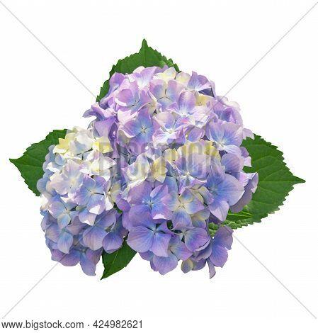 Beautiful Flower Of Hydrangea ( Hydrangea Macrophylla ). Isolated On White