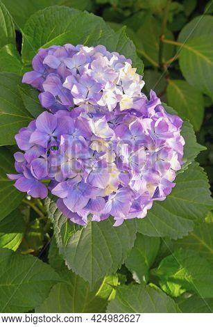 Beautiful Flower Of Hydrangea ( Hydrangea Macrophylla ) In Garden On Sunny Summer Day