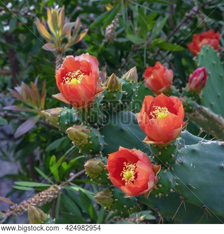 Opuntia ( Prickly Pear ) With Bright Red Flowers Of  In Garden