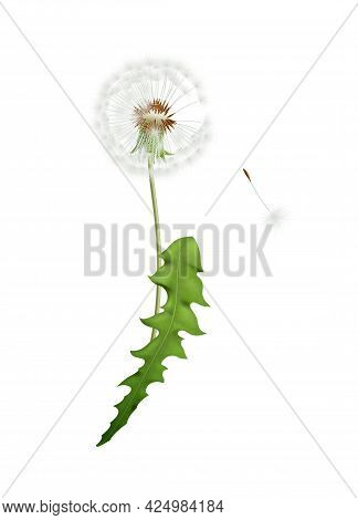 Fluffy White Dandelion With Green Leaf And Seed Isolated On White Background Vector Illustration