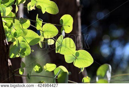 Backlit Young Ovate Leaves Of The Australian Native Silver Dollar Gum Tree, Eucalyptus Cinerea, Fami