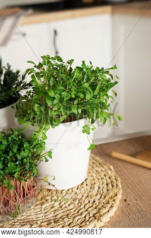 Cilantro Microgreens In A White Pot On The Table. Organic Ingredients For Cooking. Home Mini Garden