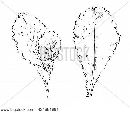 Vector Salad Set. Hand-drawn Sketch-style Lettuce Leaf And A Plant With Several Leaves Of Different