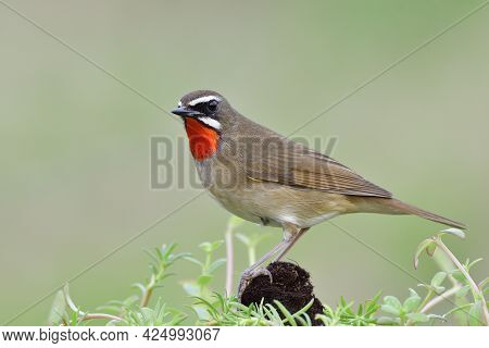 Beautiful Brown Bird With Bright Red Neck And Sharp Eyes Perching Over Old Decayed Wooden Surrounded
