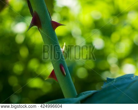 Close-up Of Red Thorns On A Green Rose Stalk.