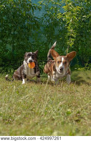 Two Small Eared Funny Dogs, Corgi Cardigan Play In Nature.