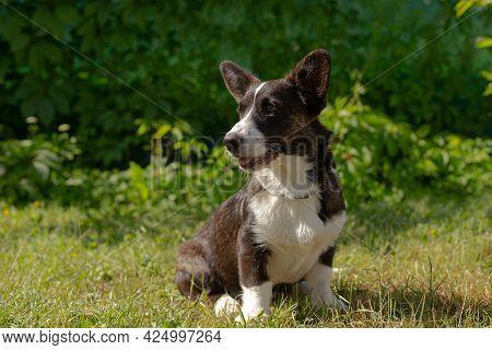 A Small Eared Cute Puppy, Corgi Cardigan In Nature.