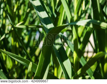 Green Abstract Background Of Growing Garlic Stalks. Close-up.
