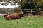 Highland cattle laying down in a farm. Cow. Huge animal in farmland or field. poster