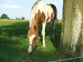 Horse in a field eating grass. Farm animal grazing in a farm. poster