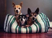 three dog pals in a dog bed together poster