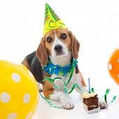 pet beagle dog  first birthday party  celebration with cake hat and balloons poster