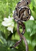 Royal Python snake creeping on a wooden branch poster