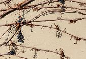 Tan colored cement wall with trailing vines and deep blue berries creeping across it. poster