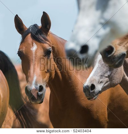 Herd of horses running outdoor, Arabian horses.