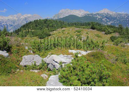 Velika Planina Dwarf Pine Vegetation, Slovenia