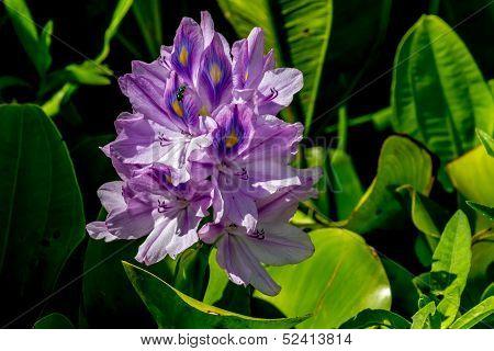 A Single Bloom of Flowering Water Hyacinth