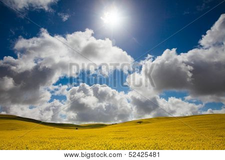 Canola field in the Mid North, South Australia