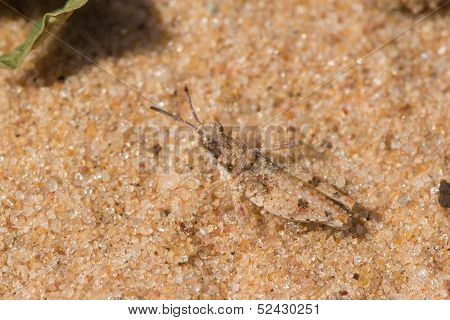 A tiny Grasshopper from West Africa (less than 2 cm) which has evolved excellent camouflage on sand poster