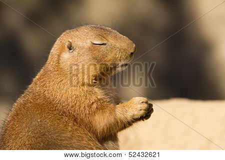 Black-tailed Prairie Dog With Eyes Closed