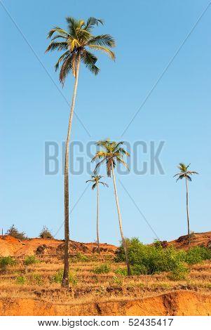 Palm Trees On Arabian Sea Coastline