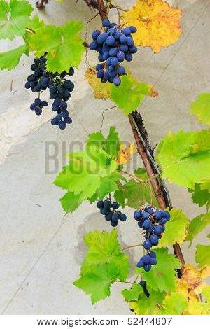 Fine Sweet Grapes In Leaves On A Wall Background