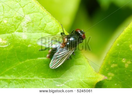 A macro shot of a red eyed fly on a leaf poster