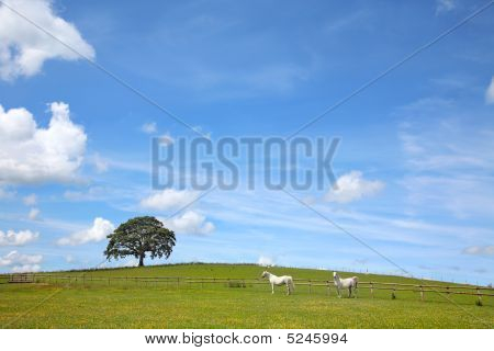 poster of Two white horses grazing in a field of buttercups in summer with a blue sky and an oak tree . Welsh Section C ponies.