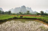 Water buffalo near a rice field near Yangshuo China poster
