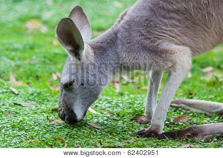 Single Kangaroo Grazing in the wild