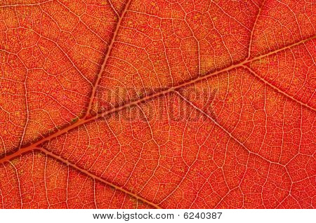 Autumn White Oak Leaf