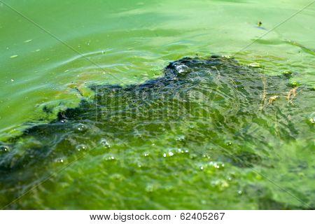 Algae Polluted Water (  Green Scum)