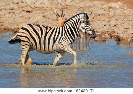 Plains (Burchells) Zebra (Equus burchelli) walking in water, Etosha National Park, Namibia