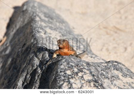 Galapagos red lava lizard on a rock looking on poster