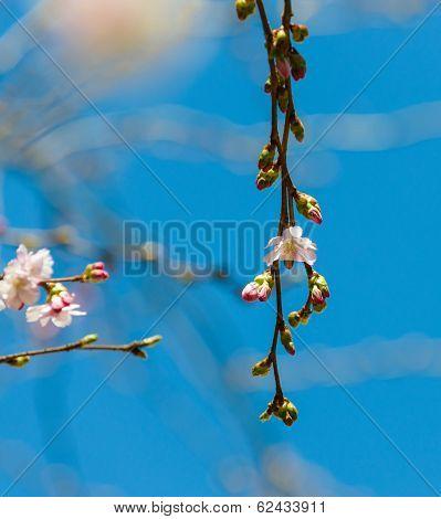 Sakura In Blossom