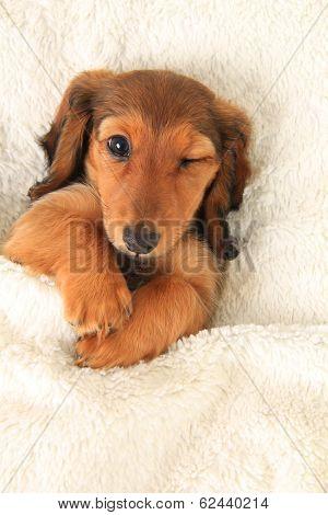Longhair dachshund puppy in bed, winking.