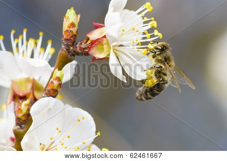 Harvesting Honeybee