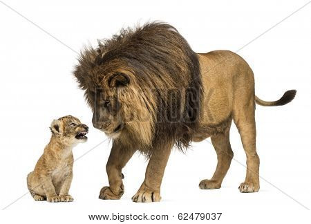 Lion standing and looking a lion cub