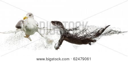 European Otter swimming to an European Herring Gull going  away